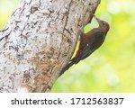 A Male Okinawan Woodpecker...
