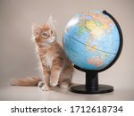 A Red Maine Coon Kitten Sits...