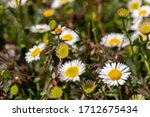 Close Up Of Mexican Daisies...
