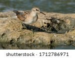 Small photo of A Least Sandpiper is standing on a muddy island in the marsh. Lynde Shores Conservation Area, Whitby, Ontario, Canada.