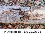 Rotten Trunk Of Fallen Coconut...