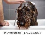 A Cute  Wet Wire Hair Dachshun...