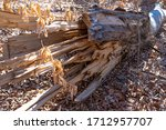 Felled Broken Tree Lies On The...