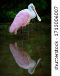Roseate Spoonbill And Its...