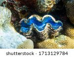 Giant Tridacna  Saltwater Clam...