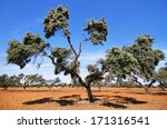 Cork Oak Trees In Extremadura ...