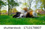 Bernese Mountain Dog Rolling On ...
