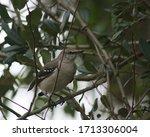Gray Mockingbird Perched In Tree