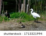 Egret With Cormorant And Ducks