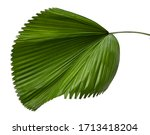 Small photo of Licuala grandis leaf( Palas Payung, Vanuatu Fan Palm, Ruffled Fan Palm) tropical green isolate on white background.