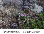Small Wild Flowers On The Rocks....