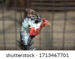 Turkey. The Animal Behind The...
