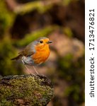 Beautiful Image Of Robin Red...