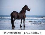 Black Frisian Horse Standing...
