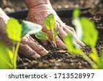 Small photo of Farmer´s hands planting kohlrabi seedling in vegetable garden. Gardening at spring. Homegrown produce in organic farm