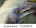 Small photo of Close up White-crowned Hornbill ( Aceros comatus),bird of Thailand