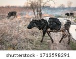 Cows Run Away From The Fire....