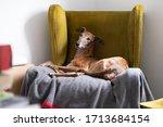 Spanish Tabby Greyhound...