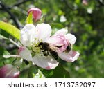 bee on apple tree flower ...   Shutterstock . vector #1713732097