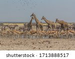 A Group Of Giraffes Drinking...