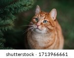 The portrait of ginger cat. the ...