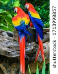 Small photo of 2 Red blue parrot gnawing on the tree