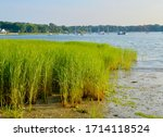 Marsh grass (Spartina alterniflora) is the keystone species of the coastal salt marsh ecosystem. It lives in the intertidal zone and is flooded twice each day. Setauket Harbor, Long Island, NY.