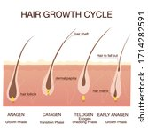 hair growth phase step by step....   Shutterstock .eps vector #1714282591