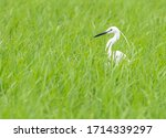 Little Egret In A Field With I...