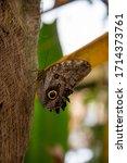 Owl Butterfly On A Tree Genus...