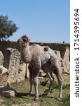 Bactrian camel family. Camel and camel colt on farm, outdoors. Newborn cute colt