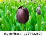 Queen Of Night Tulip. Black...