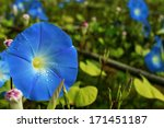 Morning Glory Flowers In The...