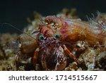 Small photo of Jeweled Anemone Hermit Crab, Schmuck Anemonen-Einsiedlerkrebs (Dardanus gemmatus)