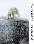 Female Polar Bear  Ursus...