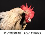 Close Up Portrait Of A Rooster...