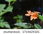Kanakambaram Flower Seen At...