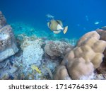 Small photo of Titan trigger fish in the open water. Indian ocean, Maldive islands. Titan trigger fish is dangerous for divers due to aggressive behaviour-