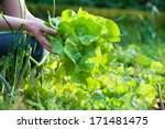 Woman Picking Fresh Salad From...