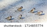 A Flock Of Sparrows On The...