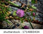 Purple Ornamental Garlic Flower ...