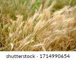 Windblown Tall Grass In Soft...