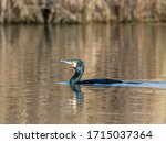 Large Cormorant Swims In The...