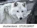 Arctic Wolf Canis Lupus Arctos...