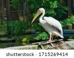 Great White Pelican In A...