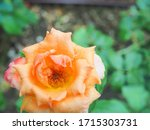 the beautiful roses in my...   Shutterstock . vector #1715303731