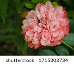 the beautiful roses in my...   Shutterstock . vector #1715303734