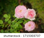 the beautiful roses in my...   Shutterstock . vector #1715303737
