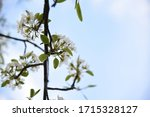 Pear Tree Blooms With White...