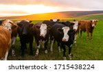 A Herd Of Cows Looking At The...